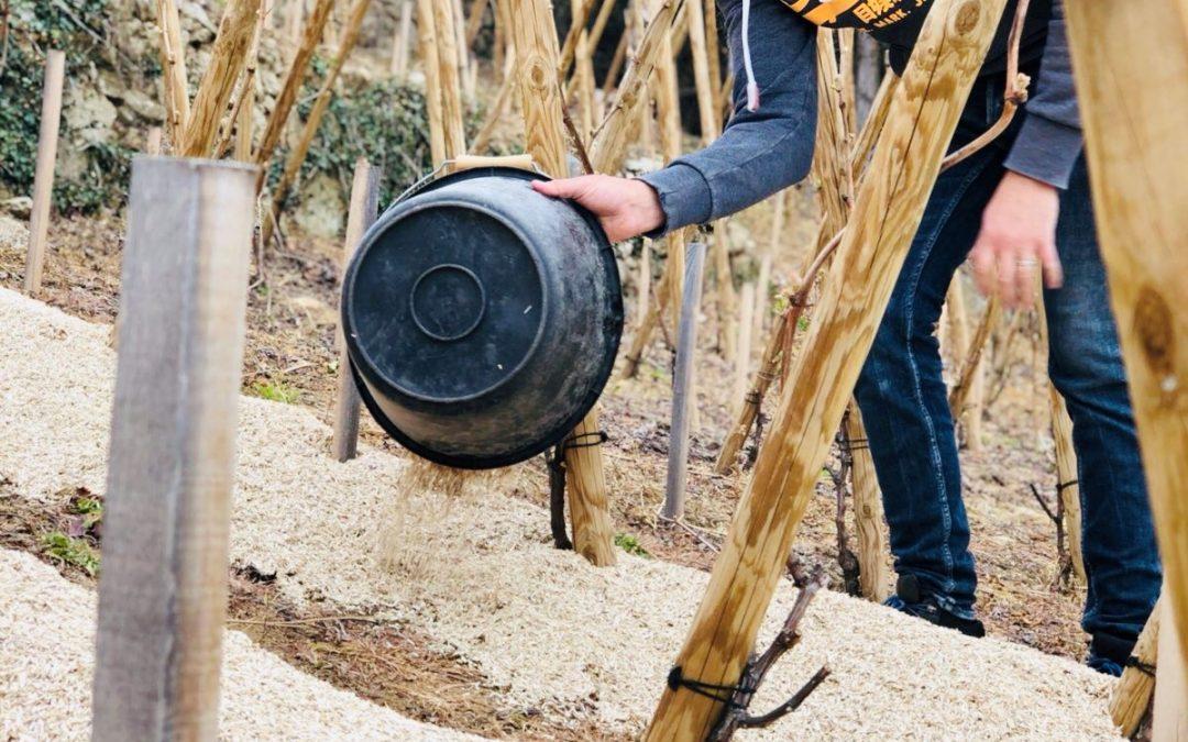 Mulching Vines in Condrieu